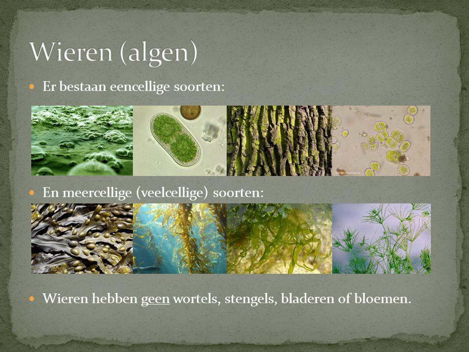 Er bestaan eencellige soorten: En meercellige (veelcellige) soorten: Wieren hebben geen wortels, stengels, bladeren of bloemen.