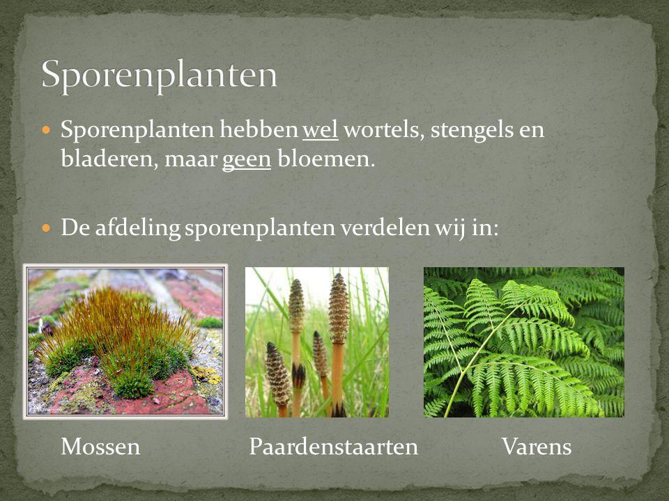 Sporenplanten hebben wel wortels, stengels en bladeren, maar geen bloemen. De afdeling sporenplanten verdelen wij in: Mossen Paardenstaarten Varens