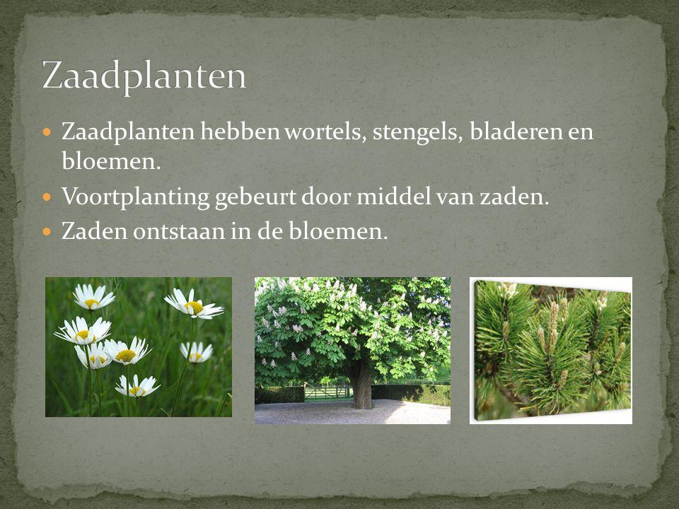 Zaadplanten hebben wortels, stengels, bladeren en bloemen. Voortplanting gebeurt door middel van zaden. Zaden ontstaan in de bloemen.