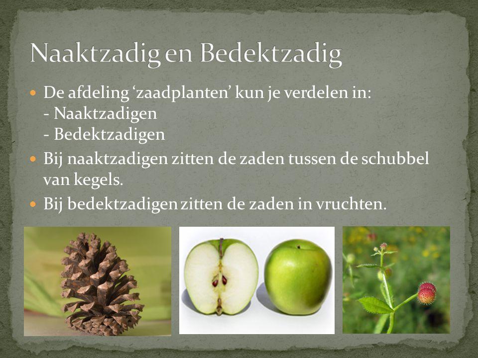 De afdeling 'zaadplanten' kun je verdelen in: - Naaktzadigen - Bedektzadigen Bij naaktzadigen zitten de zaden tussen de schubbel van kegels. Bij bedek