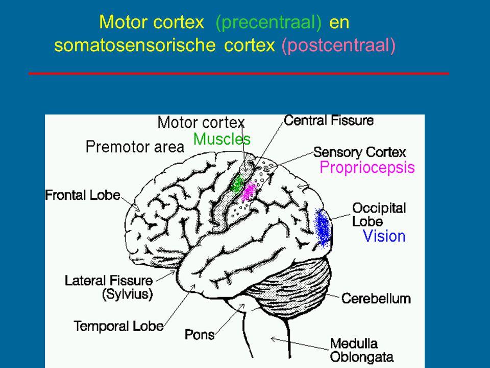 Motor cortex (precentraal) en somatosensorische cortex (postcentraal)