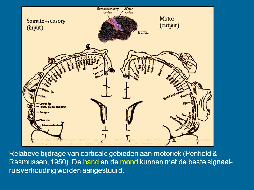 Penfield Relatieve bijdrage van corticale gebieden aan motoriek (Penfield & Rasmussen, 1950). De hand en de mond kunnen met de beste signaal- ruisverh
