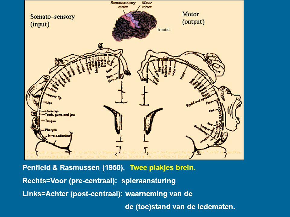 Penfield Penfield & Rasmussen (1950). Twee plakjes brein. Rechts=Voor (pre-centraal): spieraansturing Links=Achter (post-centraal): waarneming van de