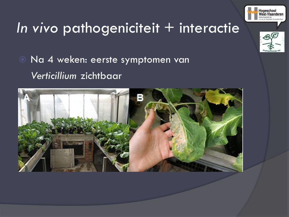 In vivo pathogeniciteit + interactie  Na 4 weken: eerste symptomen van Verticillium zichtbaar