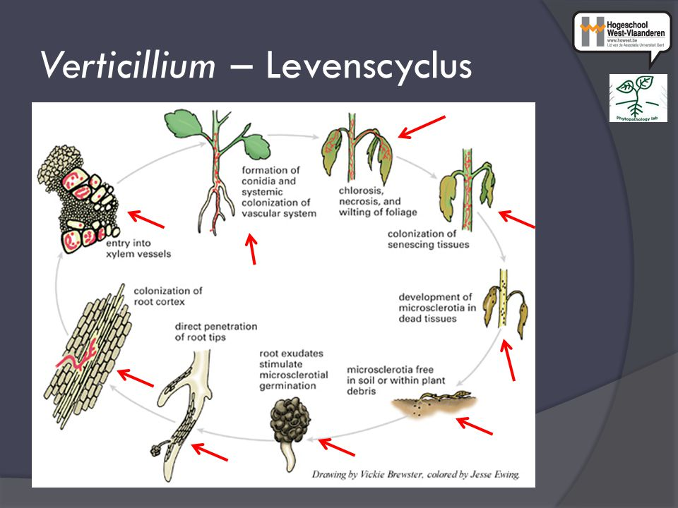 Verticillium in België  Nog geen effectieve bestrijding tegen Verticillium verwelking  In West-Vlaanderen: sporadische aantasting Voorgaande veldexperimenten: naast V.