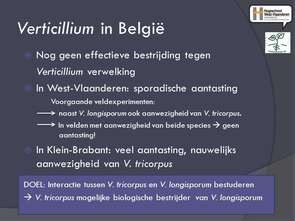Verticillium in België  Nog geen effectieve bestrijding tegen Verticillium verwelking  In West-Vlaanderen: sporadische aantasting Voorgaande veldexp