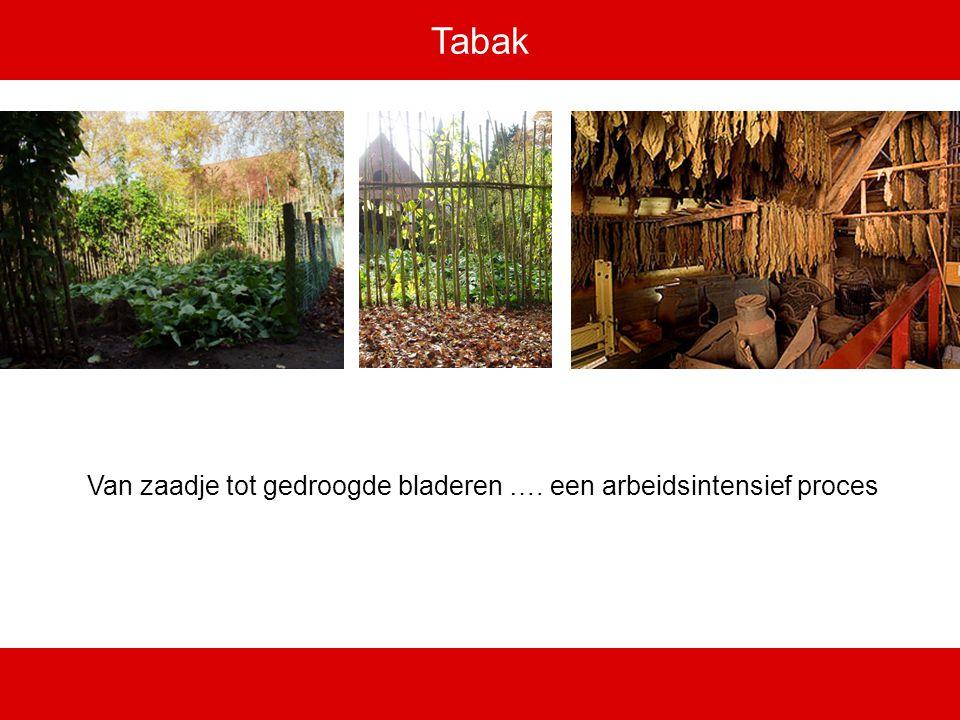 Tabak Van zaadje tot gedroogde bladeren …. een arbeidsintensief proces