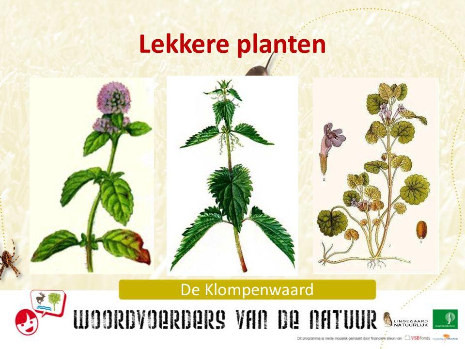 De Klompenwaard Giftige plant: Doornappel