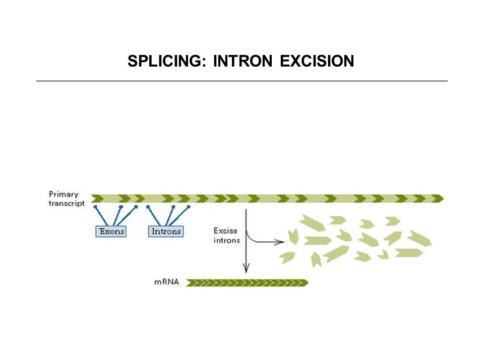 SPLICING: INTRON EXCISION