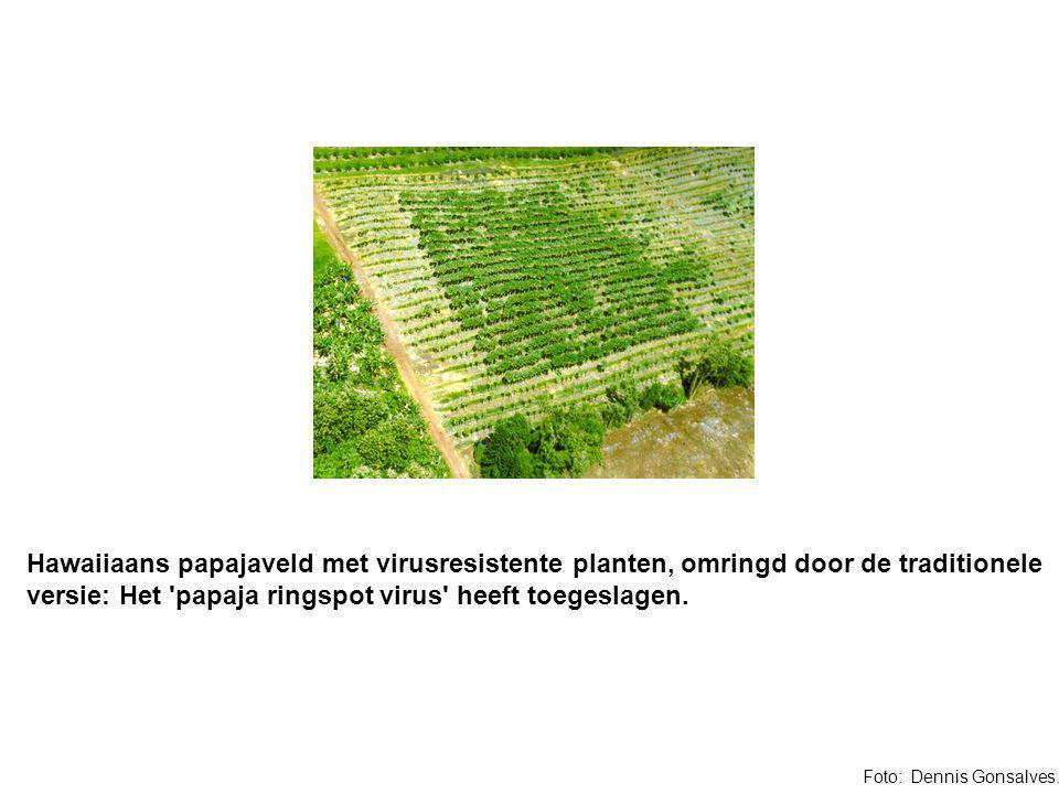 Hawaiiaans papajaveld met virusresistente planten, omringd door de traditionele versie: Het papaja ringspot virus heeft toegeslagen.