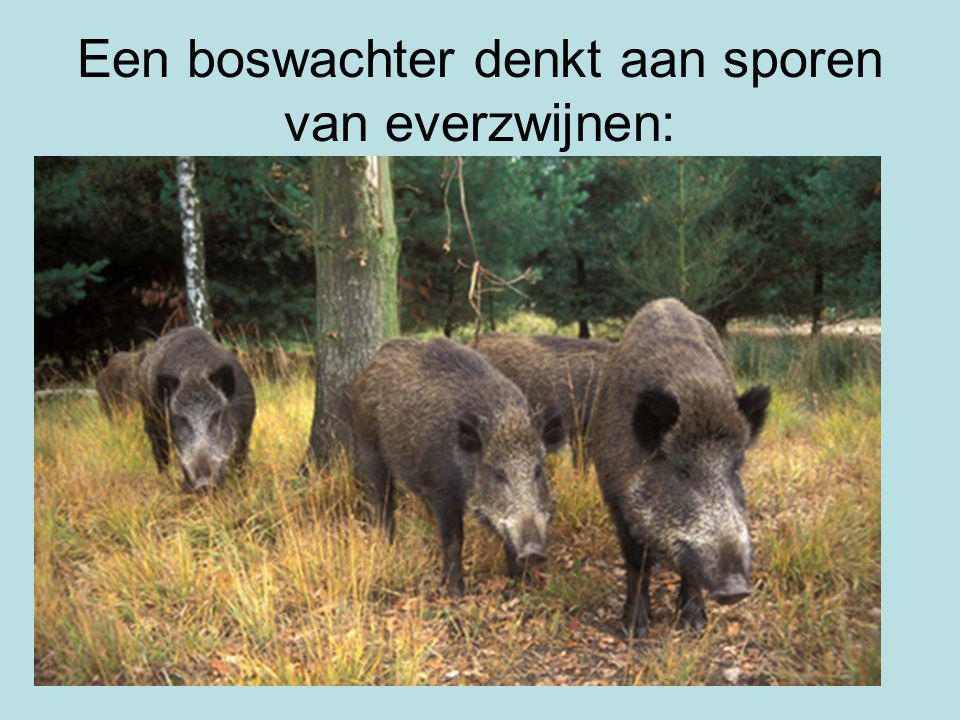 Een boswachter denkt aan sporen van everzwijnen: