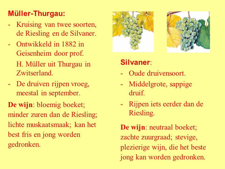 Riesling : -Bekendste witte druivensoort. -Kleine druiven. -Rijping pas in oktober of november. -Meer aroma door lange en langzame rijpingstijd. -Een