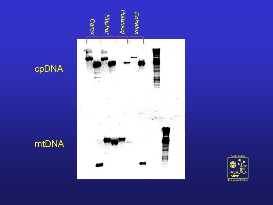 Carex Nuphar Potamog Enhalus cpDNA mtDNA