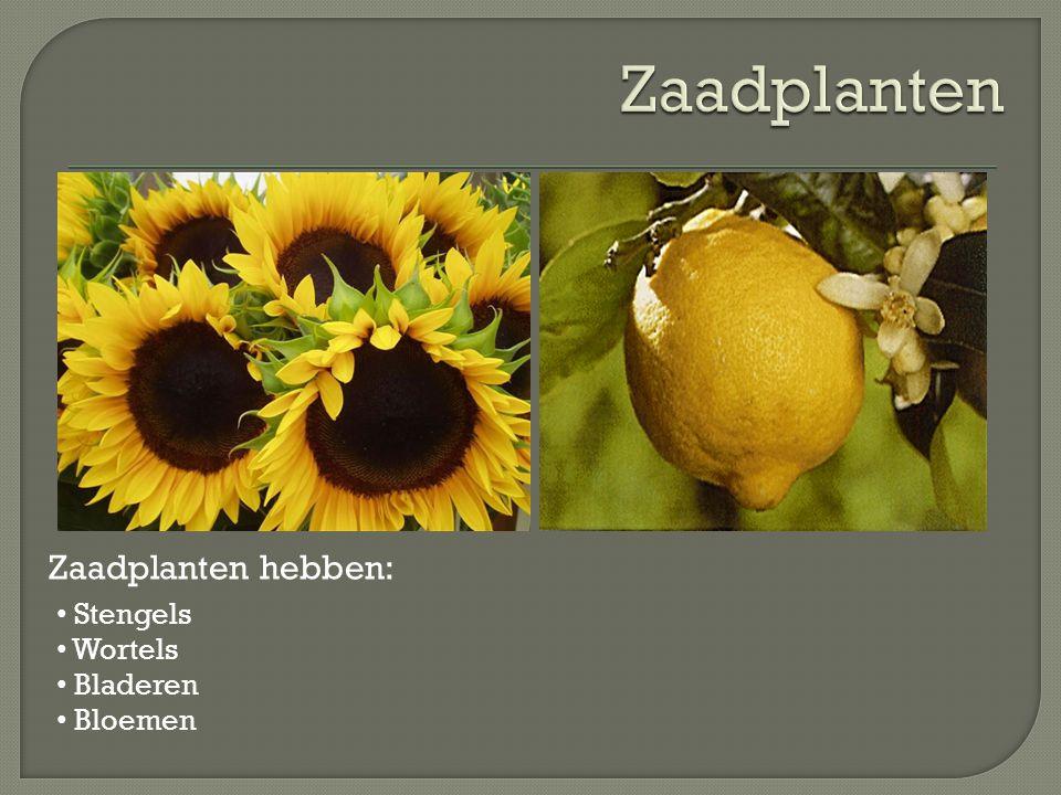 Zaadplanten hebben: Stengels Wortels Bladeren Bloemen