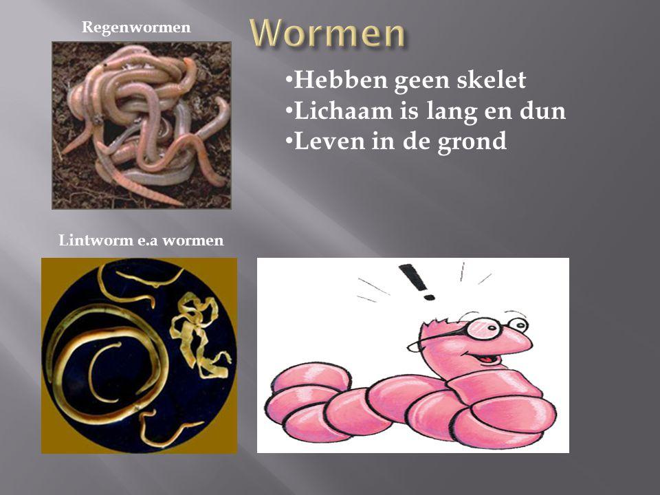 Regenwormen Lintworm e.a wormen Hebben geen skelet Lichaam is lang en dun Leven in de grond