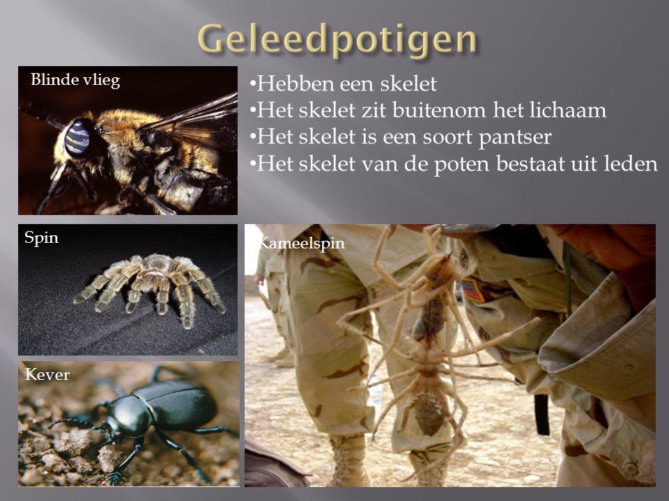 Blinde vlieg Kever Spin Hebben een skelet Het skelet zit buitenom het lichaam Het skelet is een soort pantser Het skelet van de poten bestaat uit lede