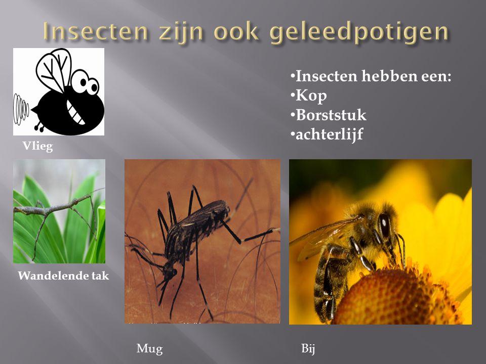 Vlieg Wandelende tak Insecten hebben een: Kop Borststuk achterlijf MugBij