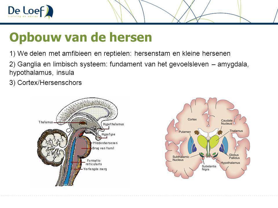 Opbouw van de hersen 1) We delen met amfibieen en reptielen: hersenstam en kleine hersenen 2) Ganglia en limbisch systeem: fundament van het gevoelsleven – amygdala, hypothalamus, insula 3) Cortex/Hersenschors