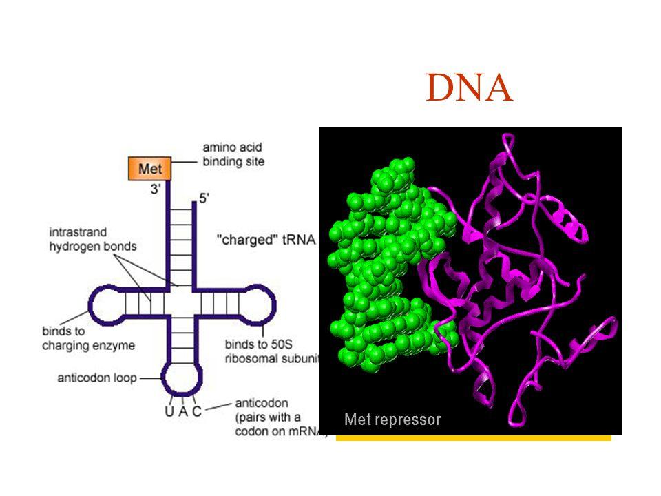 Computer DNA Overbrenging signalen van machinetaal naar programma. Via programma gewenste deel van computer activeren Overbrenging signalen via mRNA e