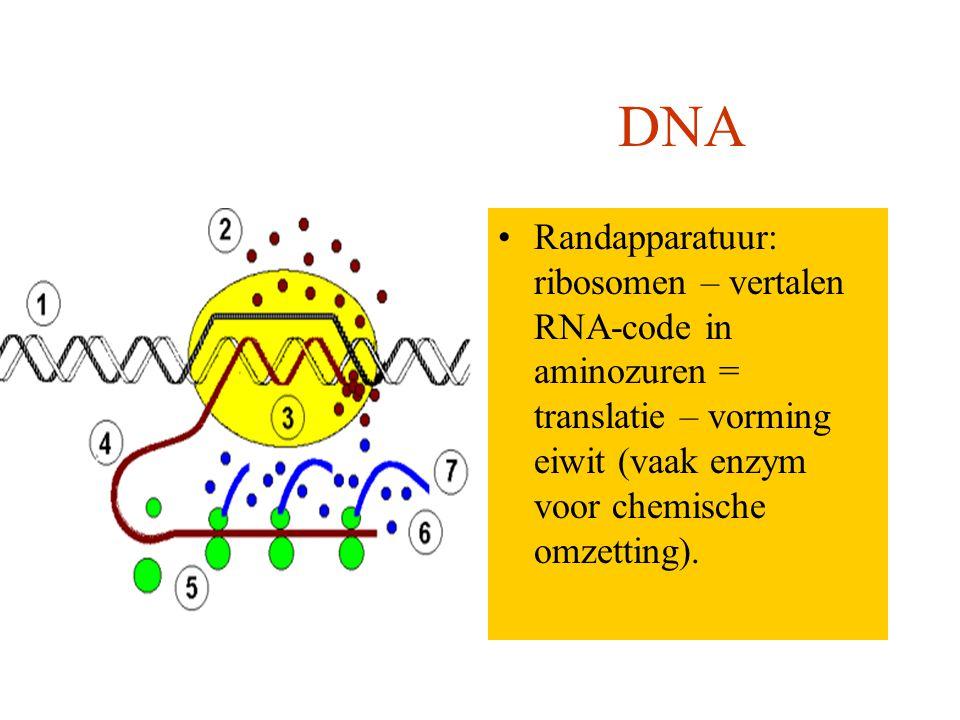 Computer DNA Randapparatuur: beeldscherm, toetsenbord, printer Randapparatuur: ribosomen – vertalen RNA-code in aminozuren = translatie – vorming eiwit (vaak enzym voor chemische omzetting).