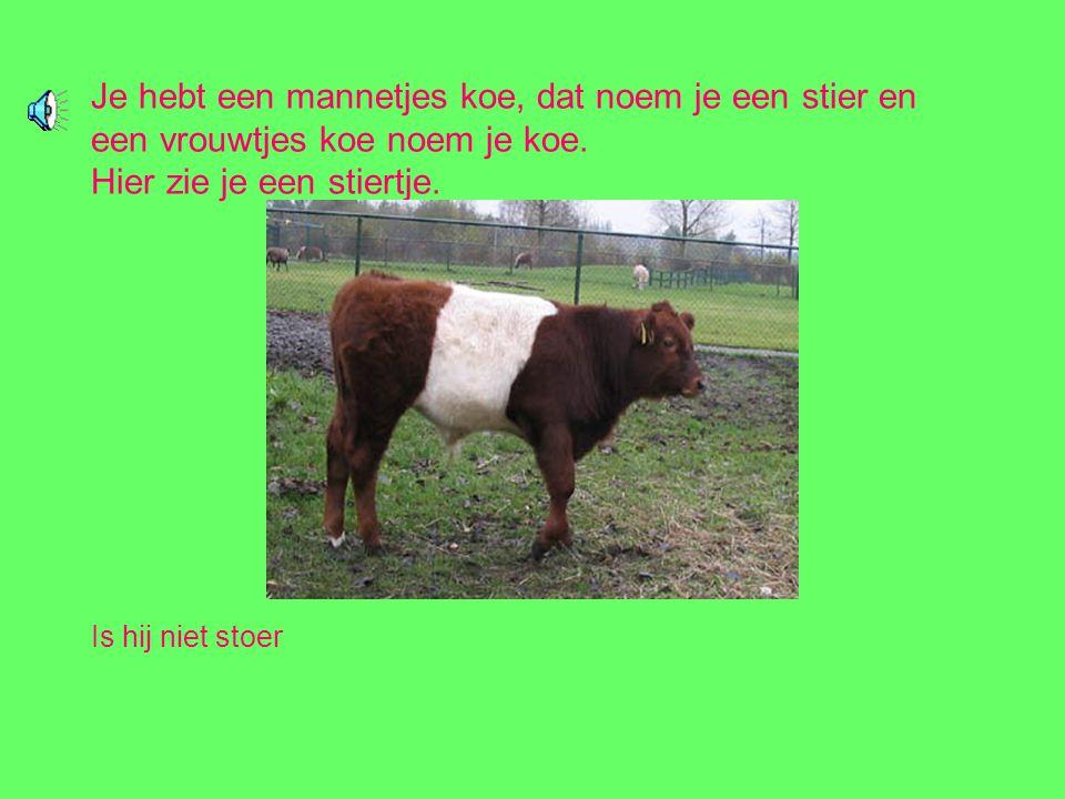 Je hebt een mannetjes koe, dat noem je een stier en een vrouwtjes koe noem je koe.