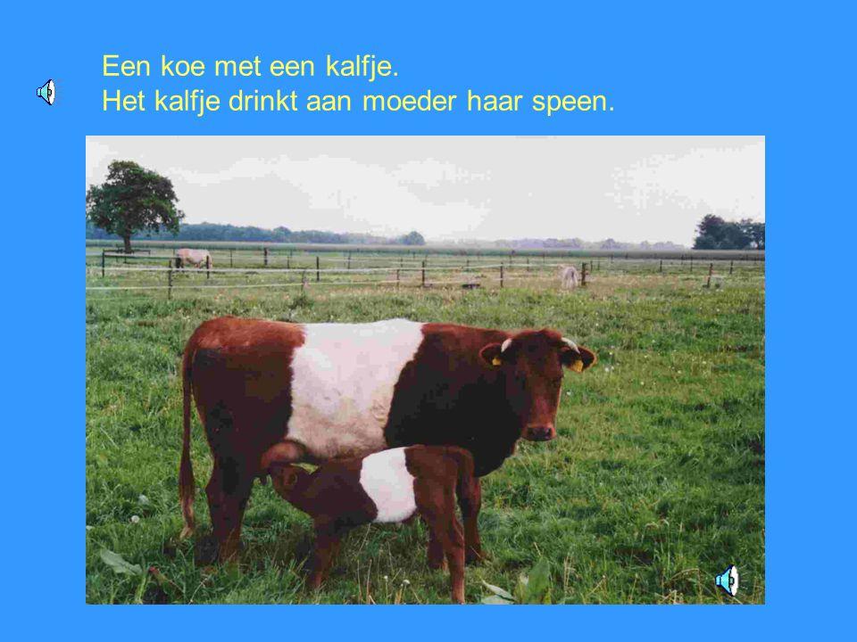 Een koe met een kalfje. Het kalfje drinkt aan moeder haar speen.