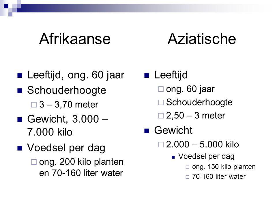 Afrikaanse Leeftijd, ong. 60 jaar Schouderhoogte  3 – 3,70 meter Gewicht, 3.000 – 7.000 kilo Voedsel per dag  ong. 200 kilo planten en 70-160 liter