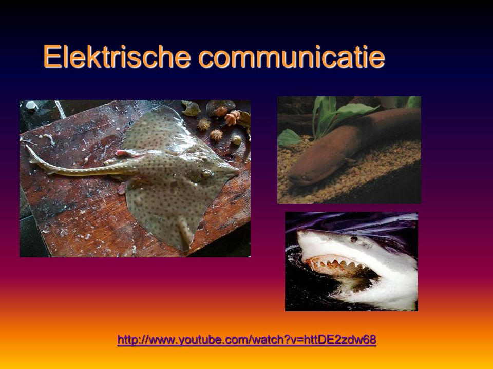 Elektrische communicatie Methode:Methode: elektrische stroompjeselektrische stroompjes Functie:Functie: prooien, vijanden en obstakels lokaliserenproo