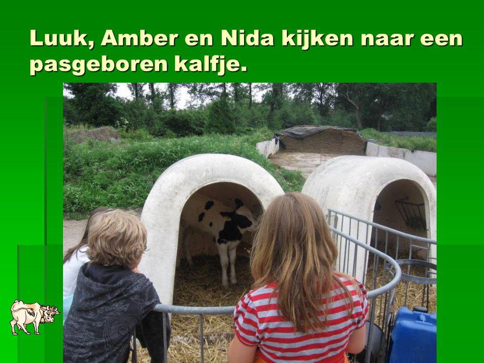 Luuk, Amber en Nida kijken naar een pasgeboren kalfje.