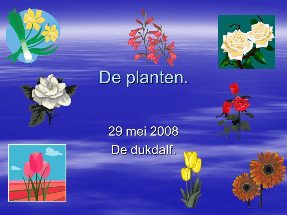 De planten. 29 mei 2008 De dukdalf.