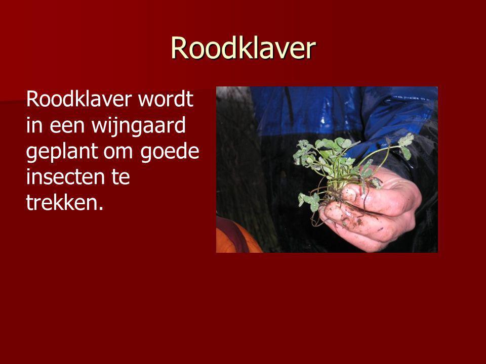 Roodklaver Roodklaver wordt in een wijngaard geplant om goede insecten te trekken.