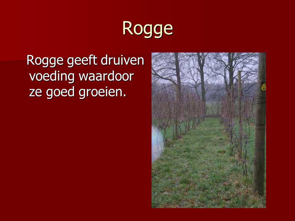 Rogge Rogge geeft druiven voeding waardoor ze goed groeien.
