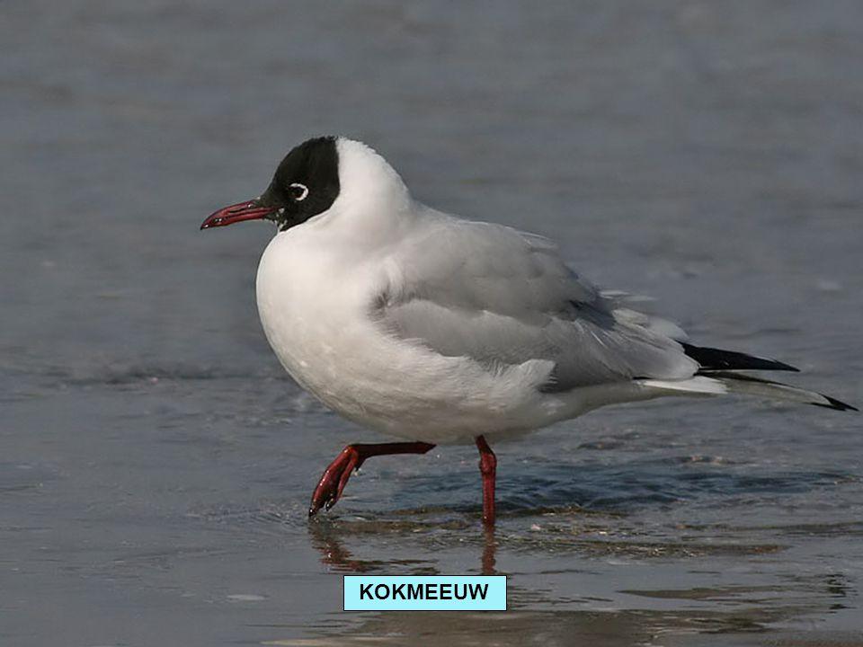 KOKMEEUW