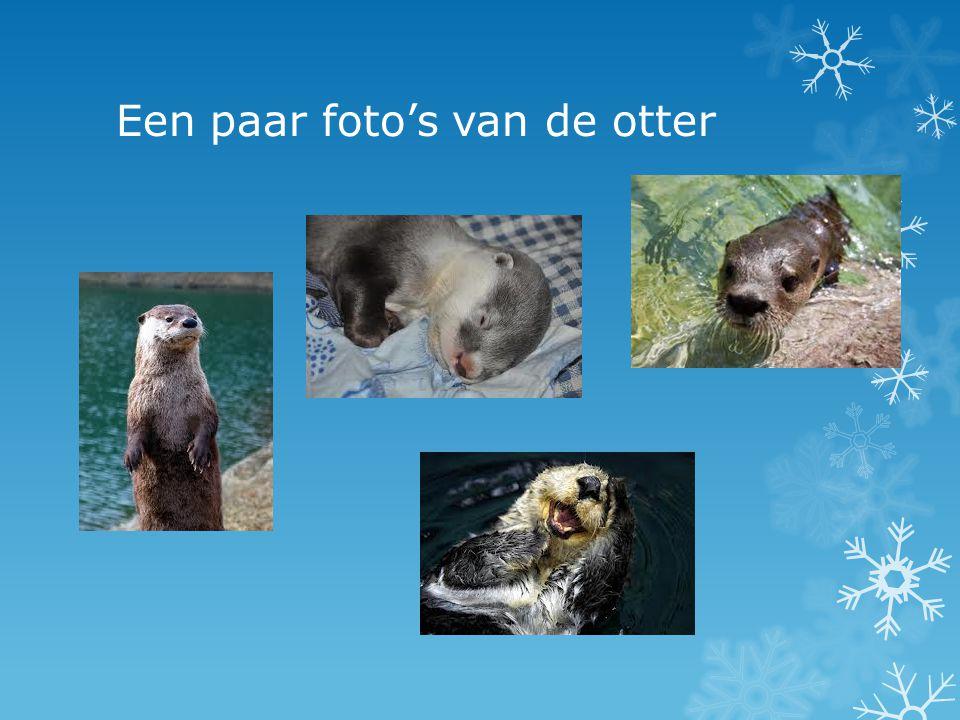 Weetjes: EEen volwassen otter is 80 tot 140 cm lang, inclusief de staart van 30 tot 50 cm lengte.