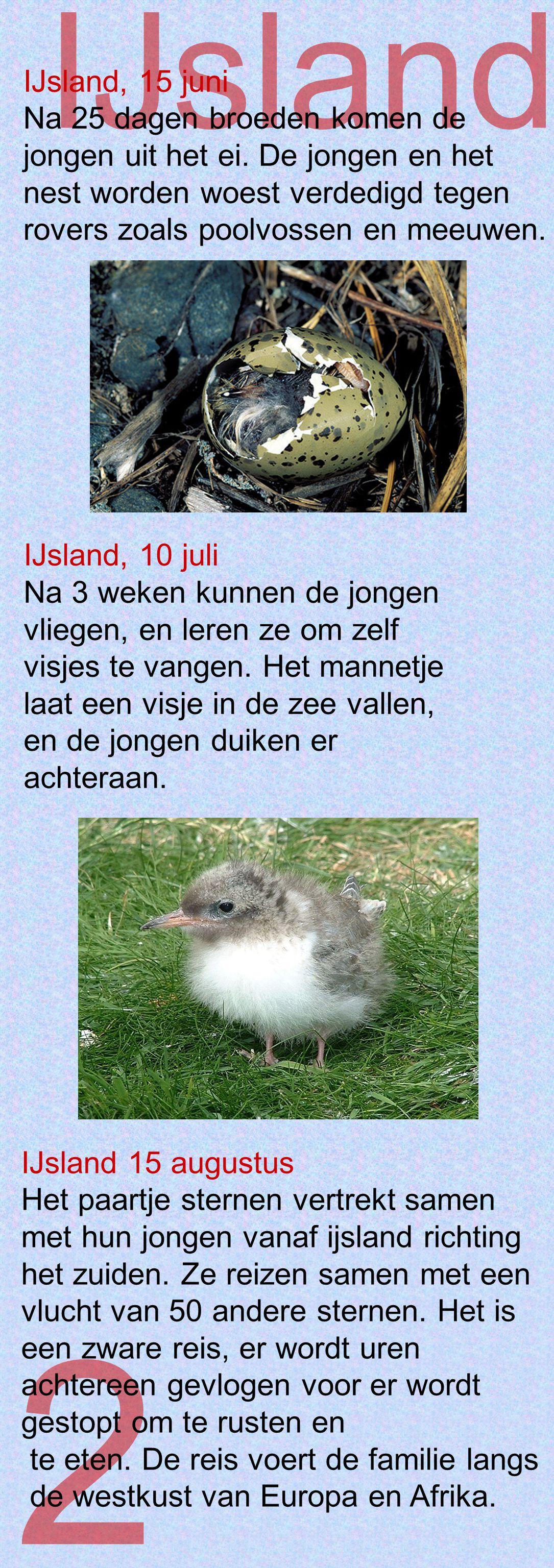 2 IJsland IJsland, 15 juni Na 25 dagen broeden komen de jongen uit het ei. De jongen en het nest worden woest verdedigd tegen rovers zoals poolvossen