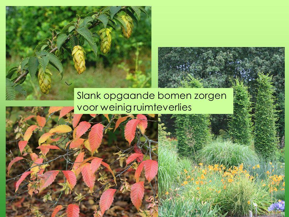 Carpinus betulus Columnaris is de compacte zuilvorm van de haagbeuk, Frans Fontaine de grotere en de Fastigiata blijft niet slank.