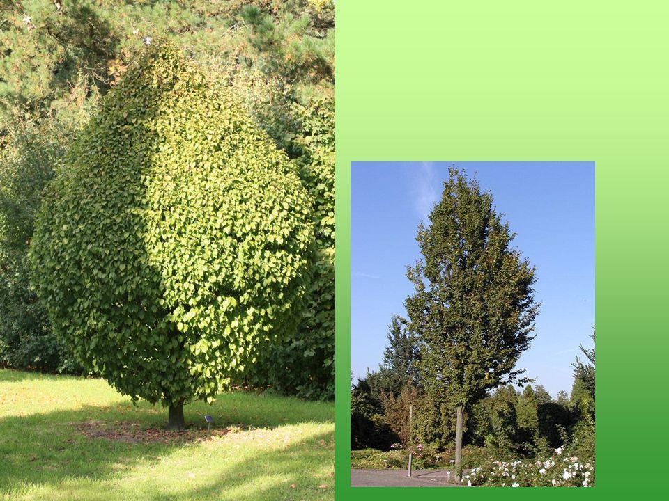 Carpinus betulus Fastigiata begint veelbelovend, maar wordt uiteindelijk toch heel breed.