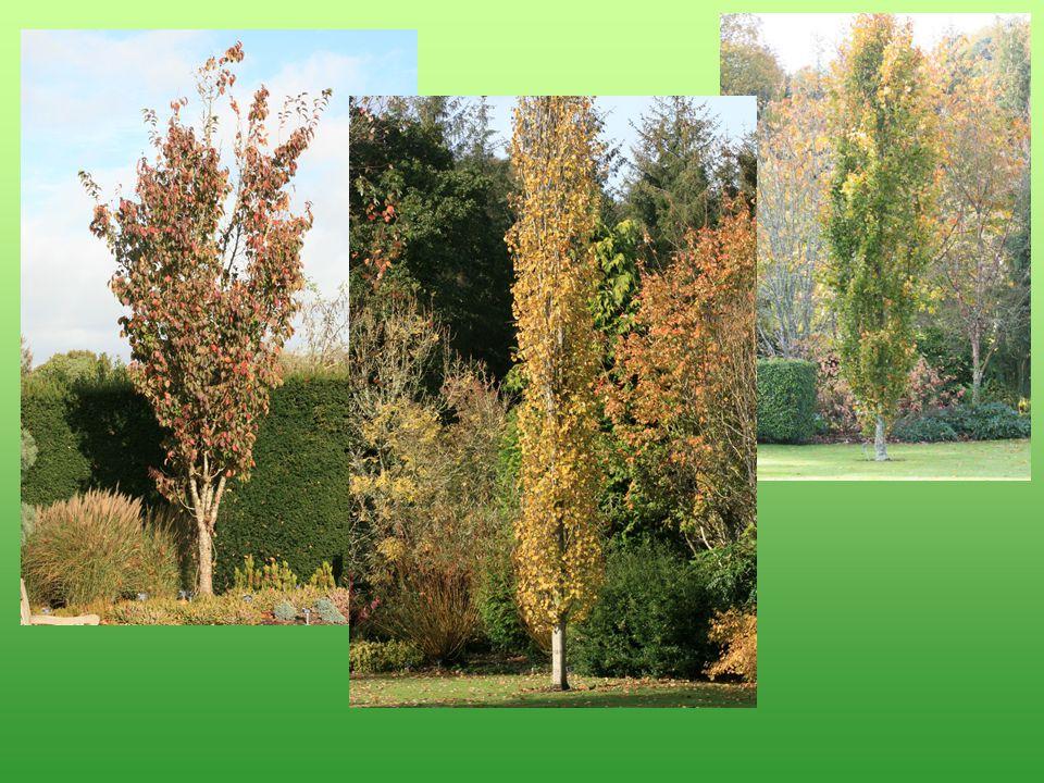 Prunus hillieri 'Spire'Populus tremula 'Erecta'Fagus sylvatica 'Dawyck'