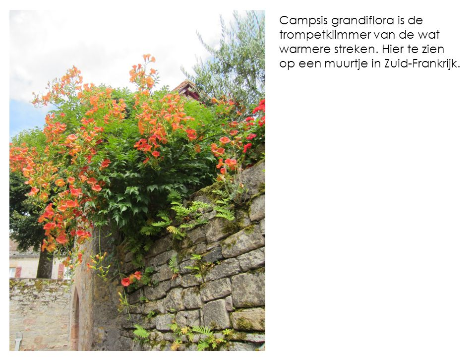 Campsis grandiflora is de trompetklimmer van de wat warmere streken. Hier te zien op een muurtje in Zuid-Frankrijk.