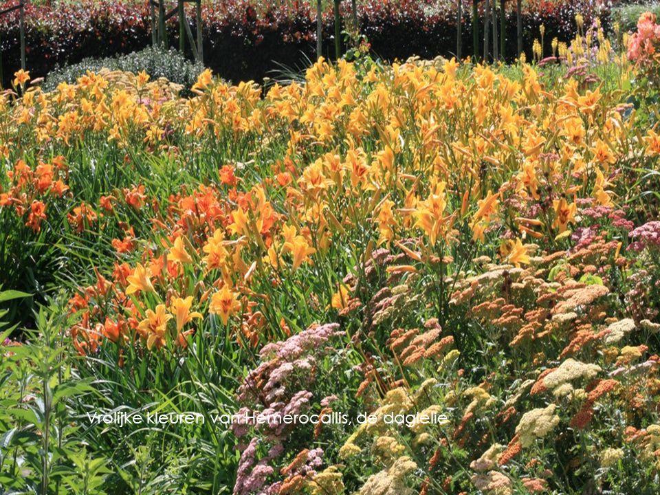Vrolijke kleuren van Hemerocallis, de daglelie