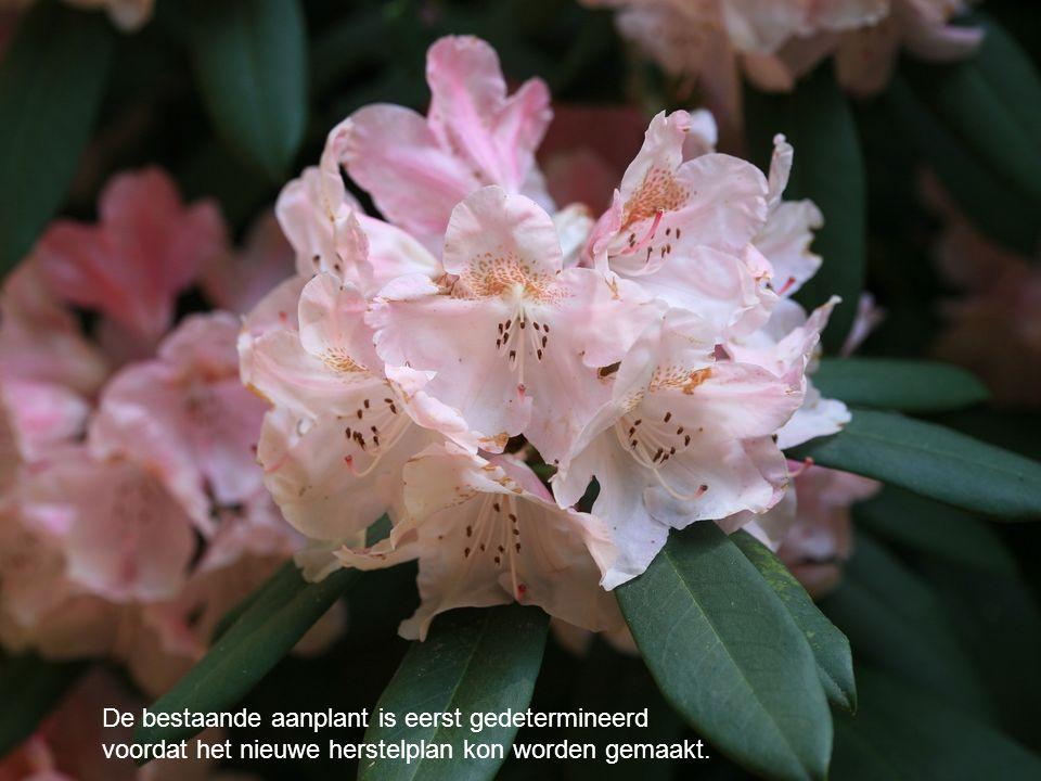 De Rhododendrons die nieuw geplant worden moeten stammen uit de vroege 20e eeuw, of passen in dat plantbeeld.