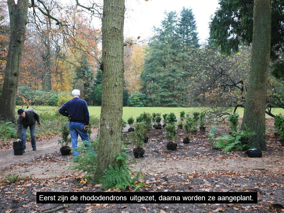 Eerst zijn de rhododendrons uitgezet, daarna worden ze aangeplant.