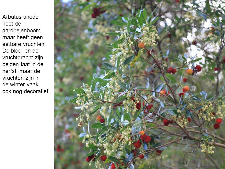 Arbutus unedo heet de aardbeienboom maar heeft geen eetbare vruchten. De bloei en de vruchtdracht zijn beiden laat in de herfst, maar de vruchten zijn