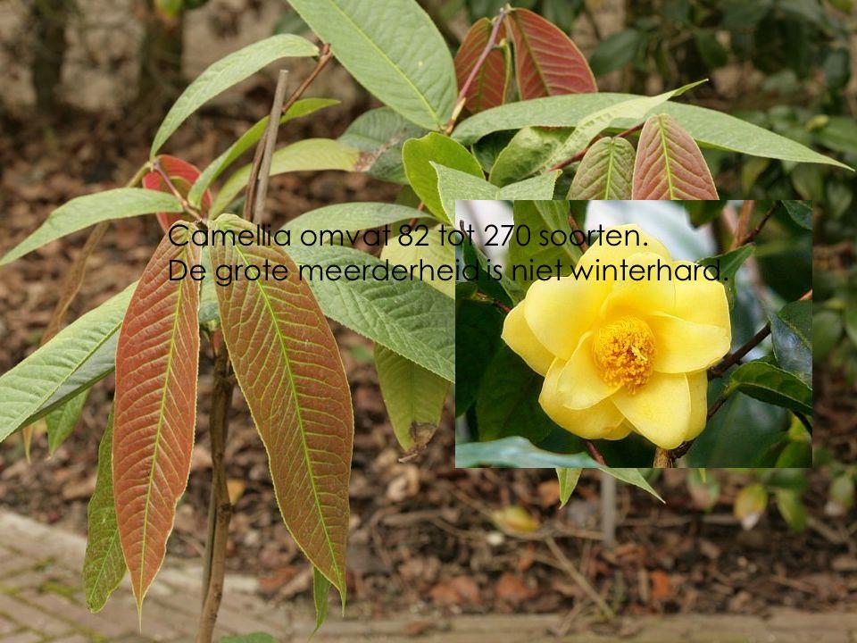 Camellia cuphuongensis in provinciaal domein Het Leen in Eeklo.