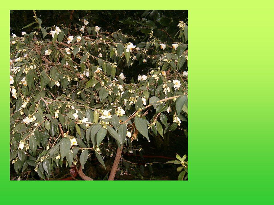 De West-chinese Camellia cuspidata is zeer winterhard.