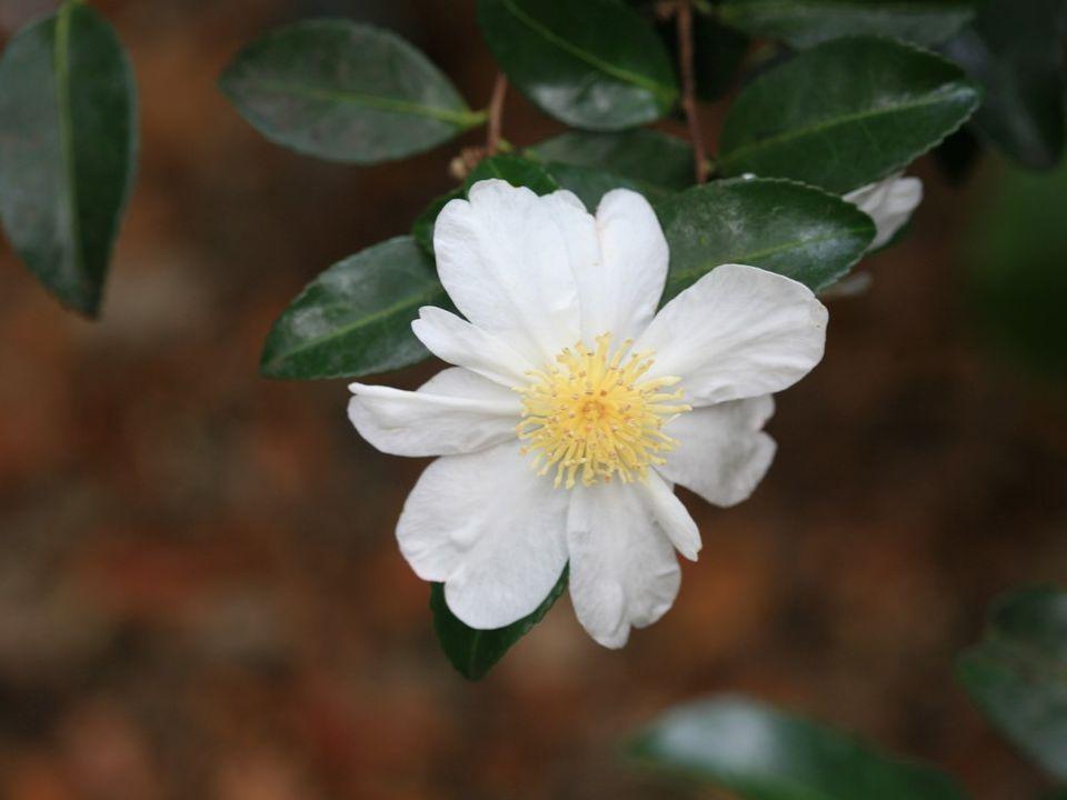 Camellia hiemalis wordt ook wel de Chinese sasanqua genoemd.