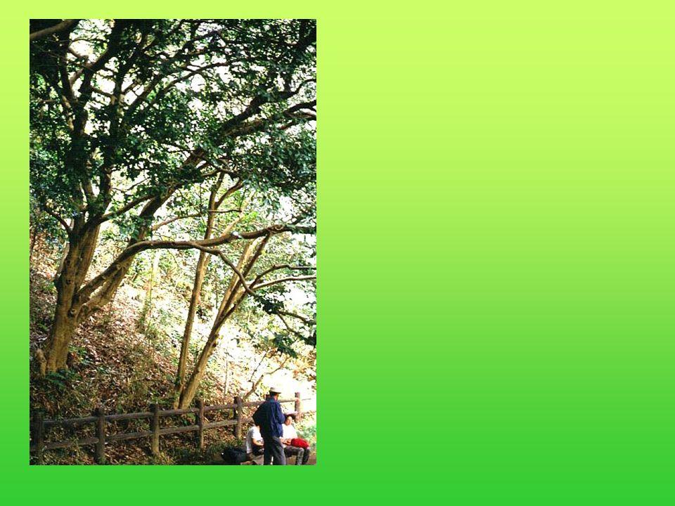 Camellia japonica is met afstand het belangrijkste species binnen dit geslacht, als tuinplant.