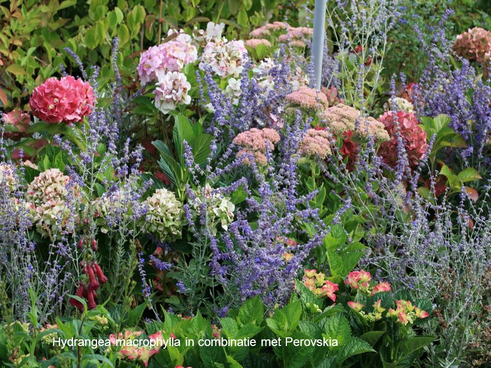 Het plantengeslacht Hydrangea is vooral bekend geworden met de boerenhortensia's.