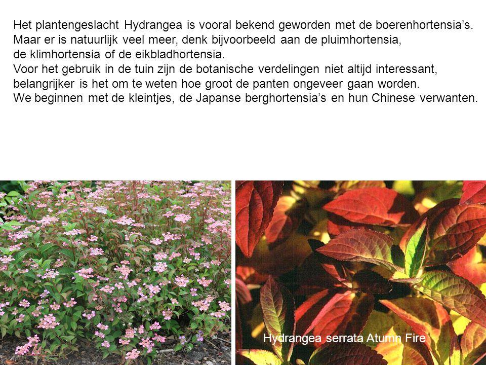 Het plantengeslacht Hydrangea is vooral bekend geworden met de boerenhortensia's. Maar er is natuurlijk veel meer, denk bijvoorbeeld aan de pluimhorte