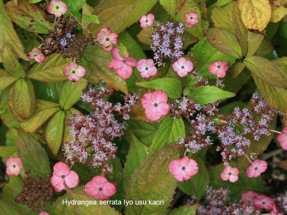 Hydrangea serrata Iyo usu kaori